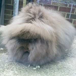 Chocolate Lionhead Rabbit