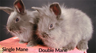 Single or Double Mane Lionhead Rabbit