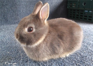 Picture of a dwarf rabbit