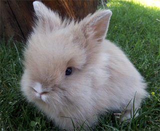 Fawn colored Lionhead Rabbit