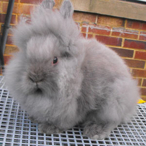 Appearance Faq Lionhead Rabbit