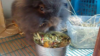 Lionhead rabbit eating hay