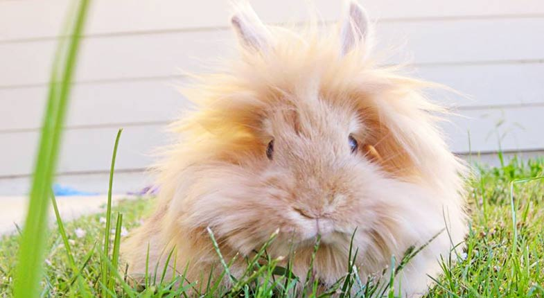 Lionhead Rabbit How To Care Diet Lifespan Faq With