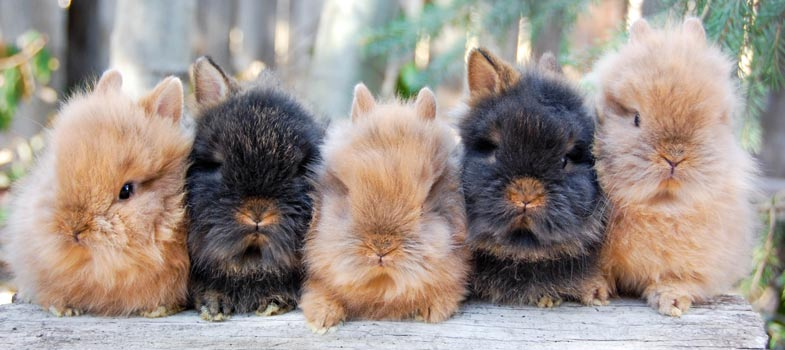 Lionhead rabbit babies orange and chestnut