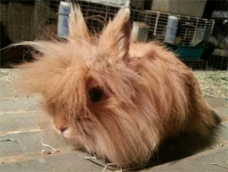 Lionhead Rabbit Orange colored