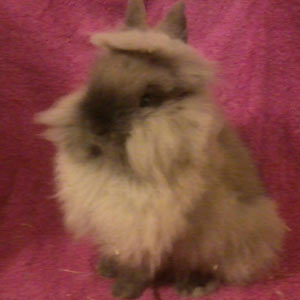 Scotty Fawn Lionhead Rabbit
