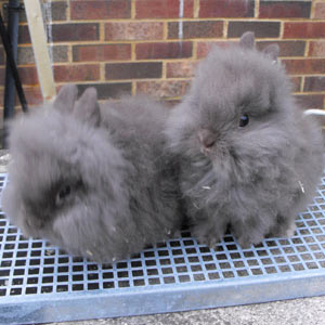 Two Chocolate Lionhead Rabbits