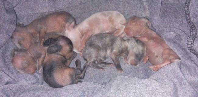 Lionhead rabbit babies laying in blanket