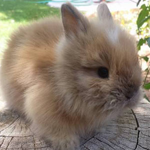 Black Tortoise Vienna Marked Lionhead Rabbit