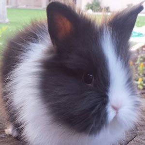 Picture of Black Vienna Marked Lionhead Rabbit