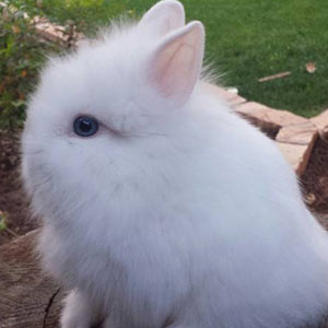 Blue Eyed White Lionhead Rabbit