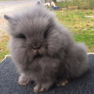 Image of Blue self Chinchilla Lionhead Rabbit
