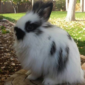 Broken Black Lionhead Rabbit
