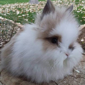 Broken Black Tortoise Lionhead Rabbit