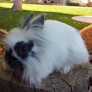 Broken Blue Lionhead Rabbit