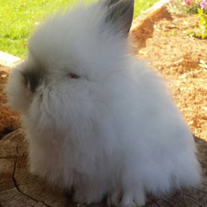 Broken Pointed White Lionhead Rabbit