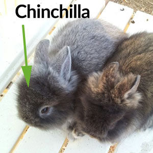Chinchilla Lionhead Rabbit