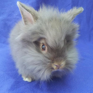 Chocolate Agouti Lionhead Rabbit
