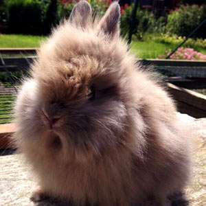 Chocolate Otter Lionhead Rabbit