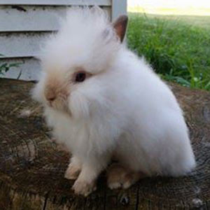 Chocolate Point Lionhead Rabbit