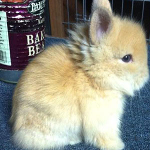 Chocolate Tortoise Lionhead Rabbit