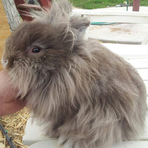 Chocolate Chinchilla Lionhead Rabbit