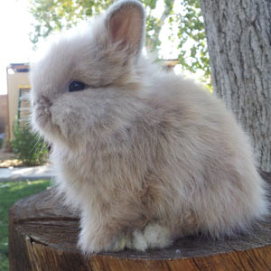 Fawn Vienna Marked Lionhead Rabbit