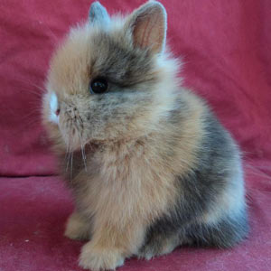 Picture of Harlequin Lionhead Rabbit