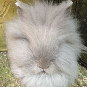 Picture of Lilac Lionhead Rabbit