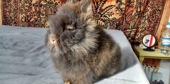 Groom your lionhead rabbit on a daily base