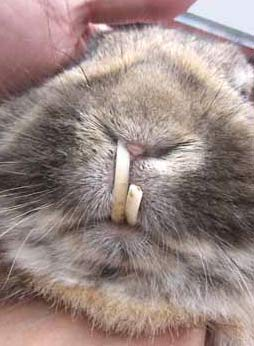 Dental care Lionhead Rabbit