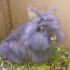 Lionhead Rabbit Nice looking
