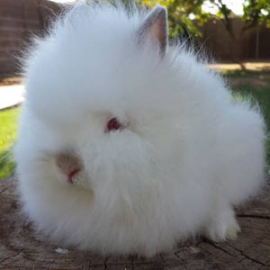 Pointed White Lionhead Rabbit