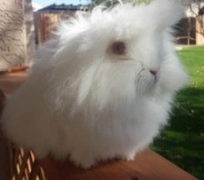 Ruby-Eyed-White-Bunnizona
