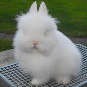 Image of Ruby Eyed White Lionhead Rabbit