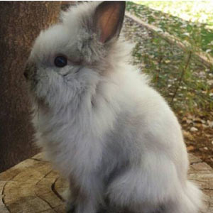 Picture of Sable Point Lionhead Rabbit