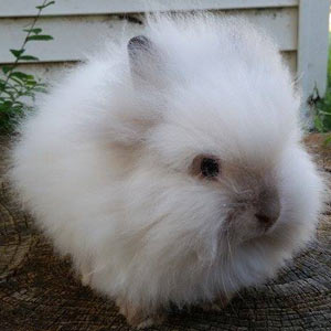 Sable Point Lionhead Rabbit