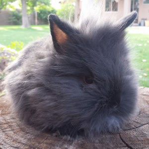 Image of Siamese Sable Lionhead Rabbit