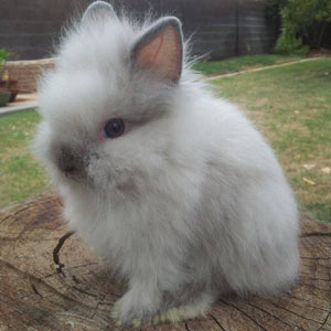 Smoke Pearl Point Lionhead Rabbit