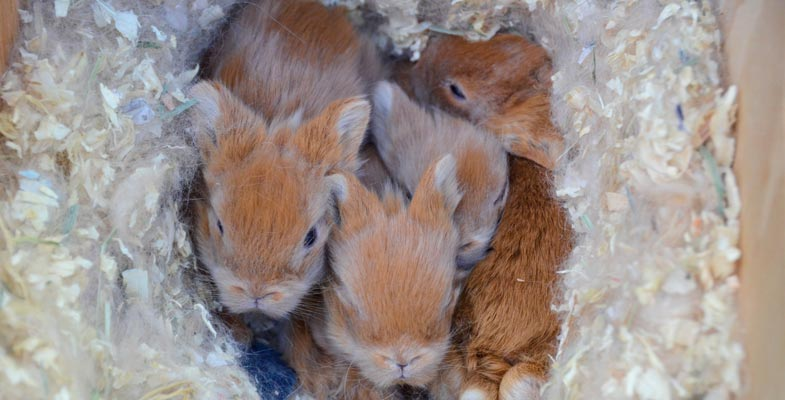 lionhead baby bunny care   tips amp information