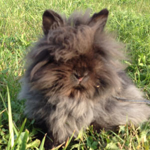 Black Lionnhead Rabbit