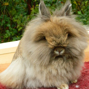 Orange Lionhead Rabbit