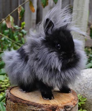 pics photos   lionhead rabbit black