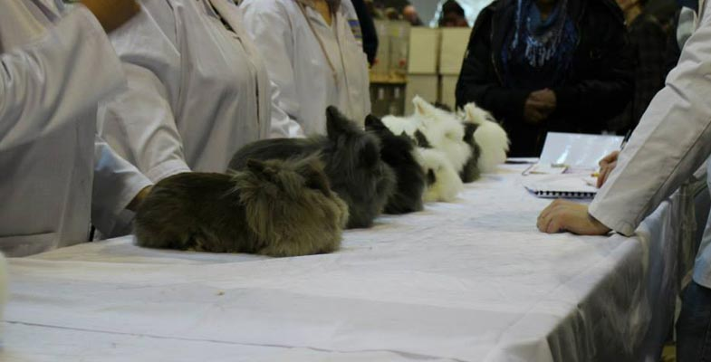 Lionheads that are being judged at a show