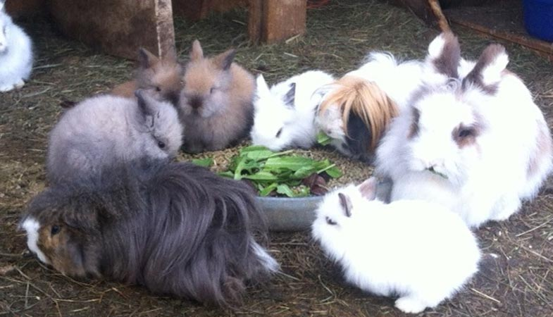 lionhead rabbit for sale