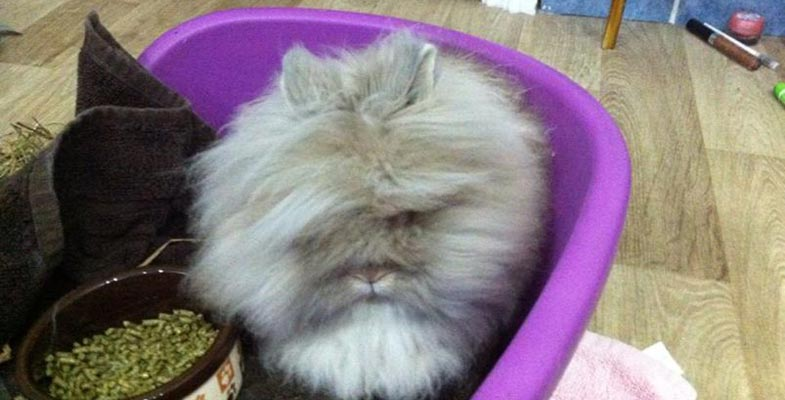 letting your lionhead roam around freely