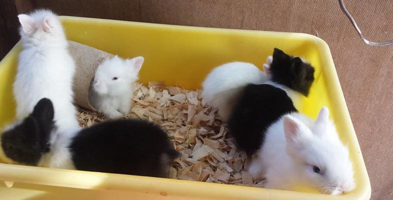 single level cage with young lionhead babies