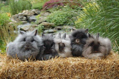Lionhead rabbits by Streamside Bunnies